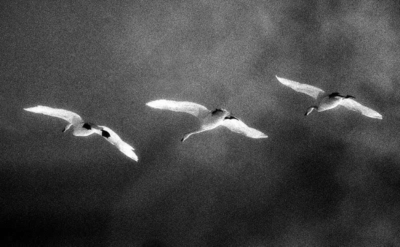 Tundra_Swans1979_16-2