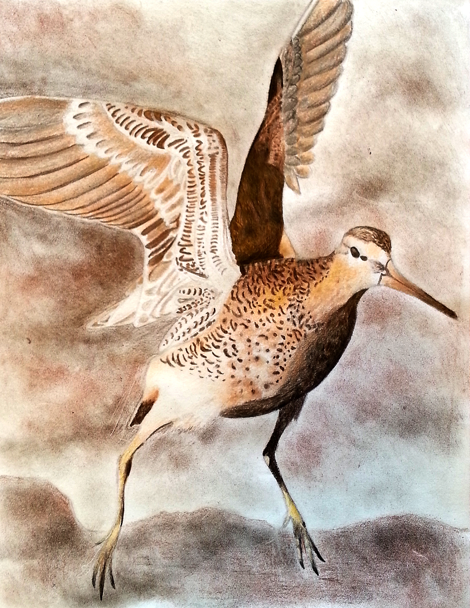 Long-billed dowitcher by Brooklyn Harris