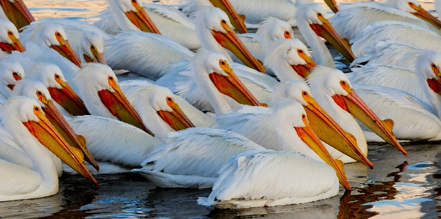 Pelicans by Gary Crandall
