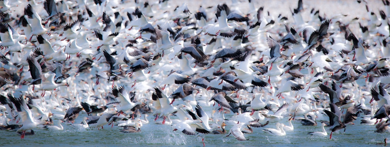 Snow Geese by Gary Crandall