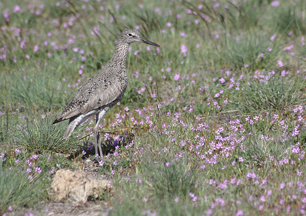 """Adult Breeding Willet"" by Mauvorneen Strozewski"