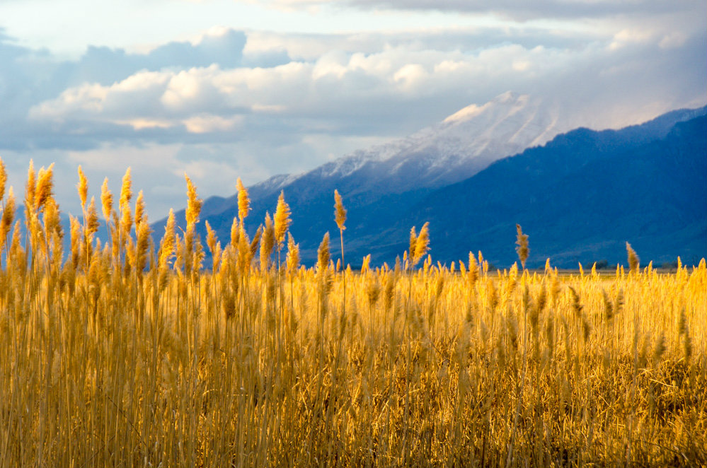 "Phragmites of the Willard Spur by <a href=""http://greatsaltlakephotography.com"">Charles Uibel</a>"