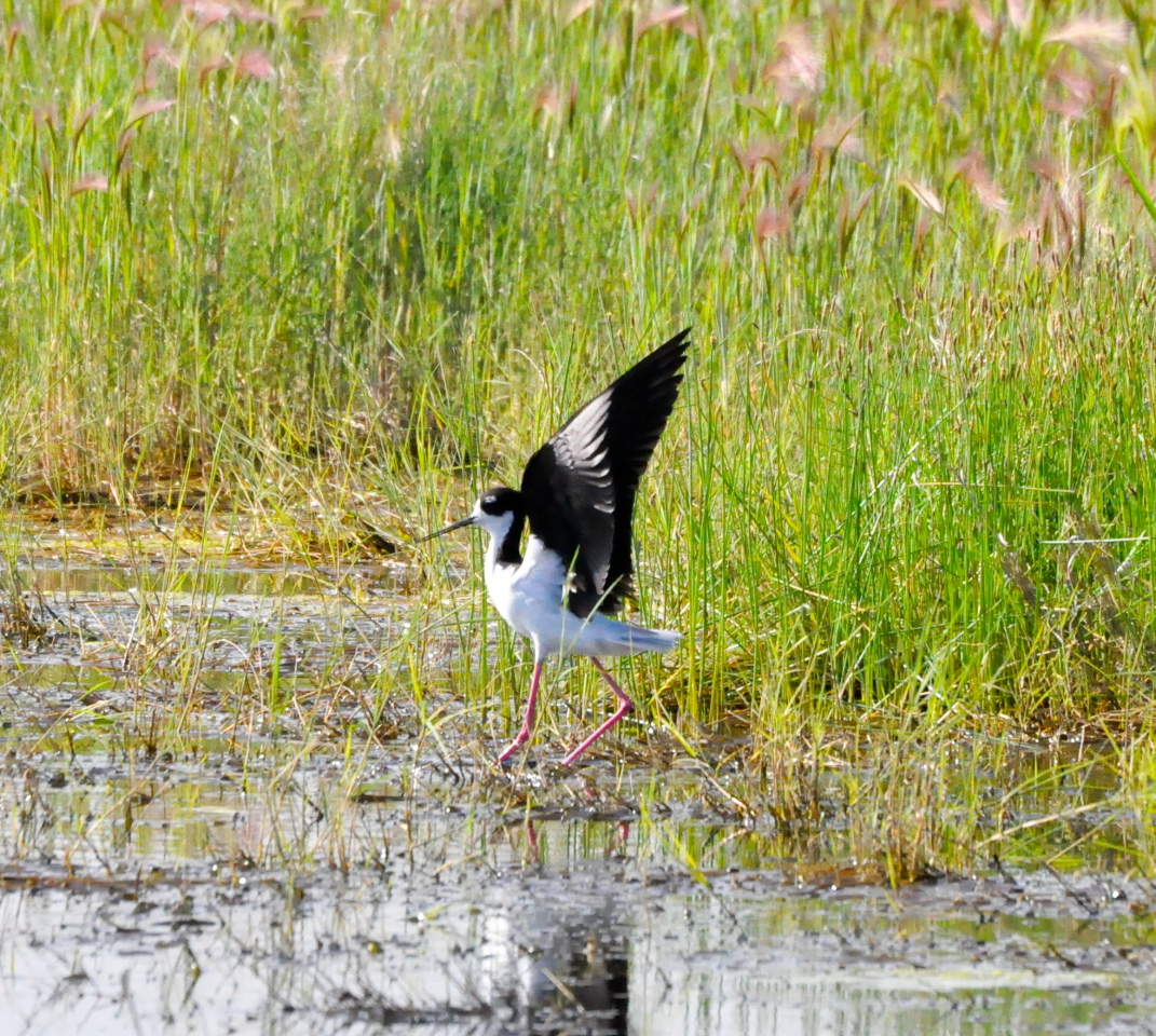 Black-necked stilt at the Legacy Nature Preserve by Eric McCulley