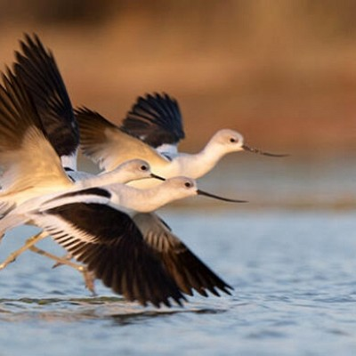 Utah's Migratory Bird Production Areas Receive a Boost